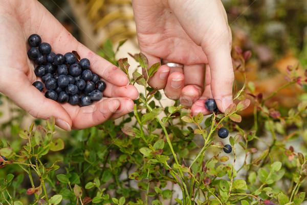 Stock photo: Picking bilberries