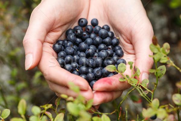 Handful of bilberries Stock photo © maxsol7