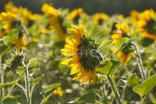 Ayçiçeği alan güneş sarı doğal Stok fotoğraf © maxsol7