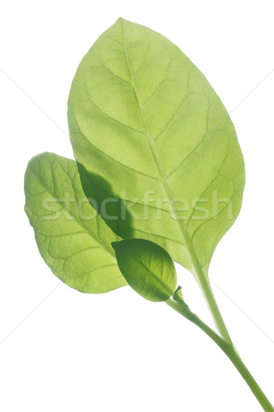 Backlit Viriginia tobacco leaves  Stock photo © maxsol7