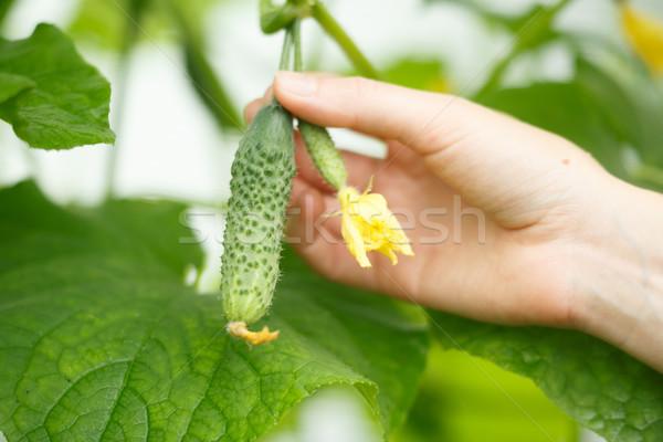 Pici uborka női kezek tart tiszta Stock fotó © maxsol7