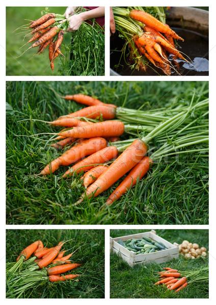 Carrots harvesting Stock photo © maxsol7