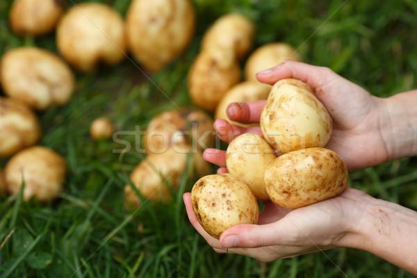 Stock photo: Potato harvesting