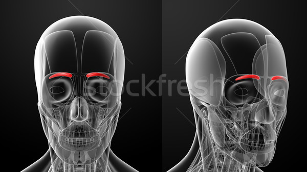 医療 実例 顔 健康 頭蓋骨 皮膚 ストックフォト © maya2008