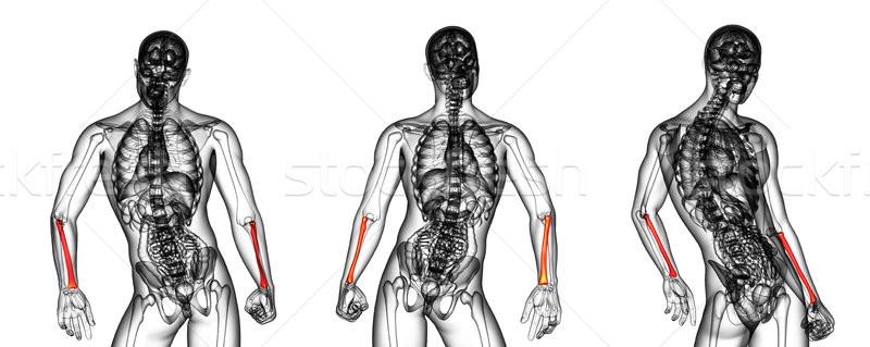 3d rendering medical illustration of the radius bone Stock photo © maya2008