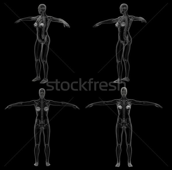 3d rendering medical illustration of the human mammary gland Stock photo © maya2008