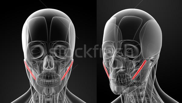 medical illustration of the zygomaticus major Stock photo © maya2008