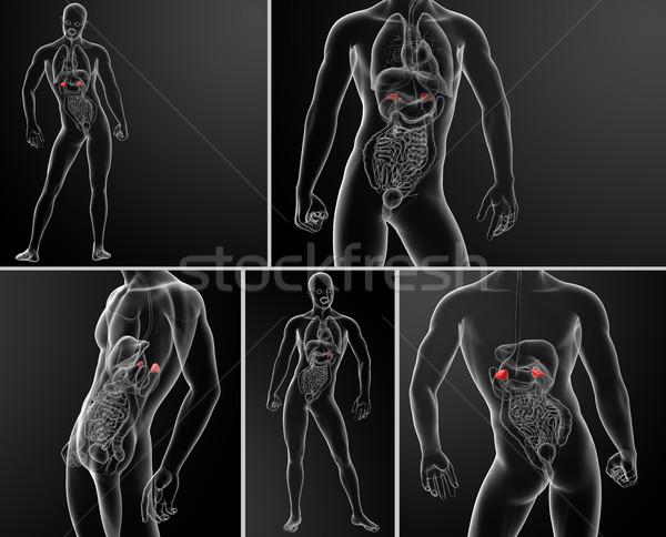 3d rendering illustration of adrenal anatomy  Stock photo © maya2008