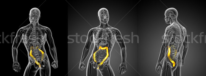 3D rendering illustration of the large intestine Stock photo © maya2008