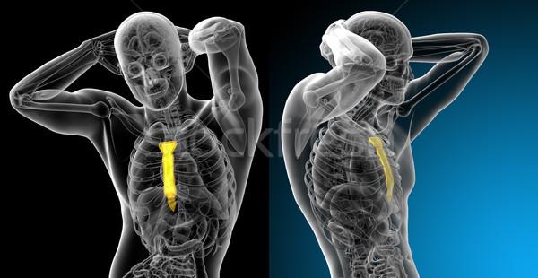 3d rendering medical illustration of the sternum bone Stock photo © maya2008