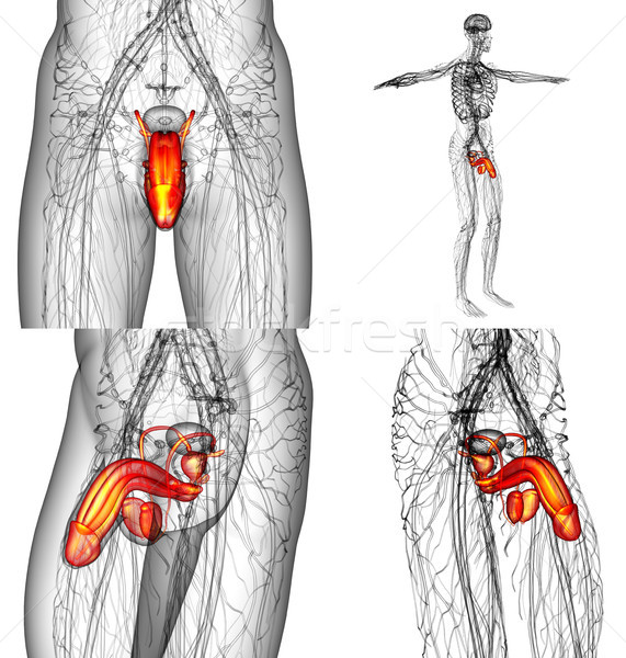 3D rendering illustration of the male reproductive system  Stock photo © maya2008
