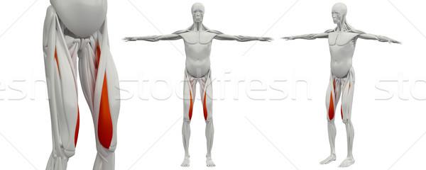 Stok fotoğraf: 3D · tıbbi · örnek · adam · kas