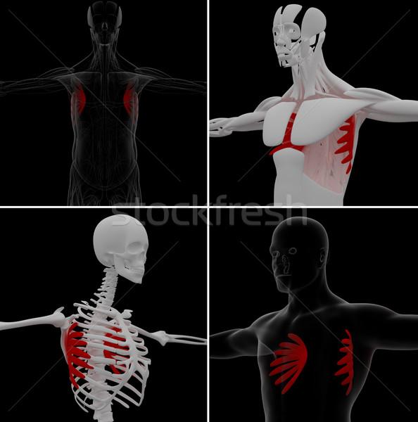 medical illustration of the serratus anterior Stock photo © maya2008