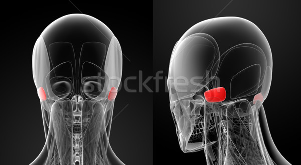 Orvosi illusztráció test gyógyszer tudomány izom Stock fotó © maya2008