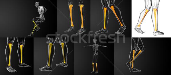 3d rendering medical illustration of the tibia bone  Stock photo © maya2008