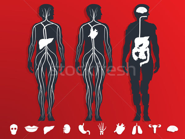 Stock photo: vector illustration of the internal organs