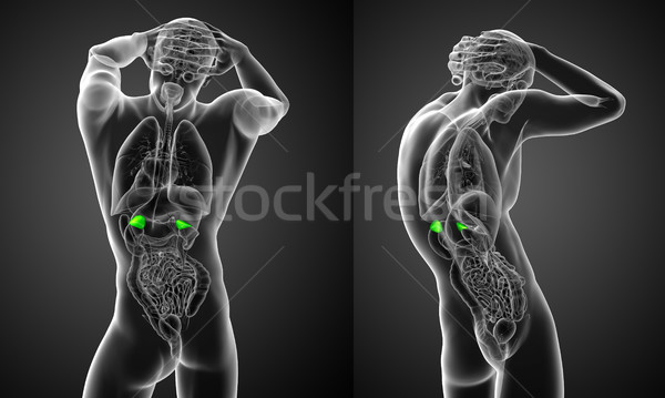 3d rendering medical illustration of the human adrenal glands Stock photo © maya2008
