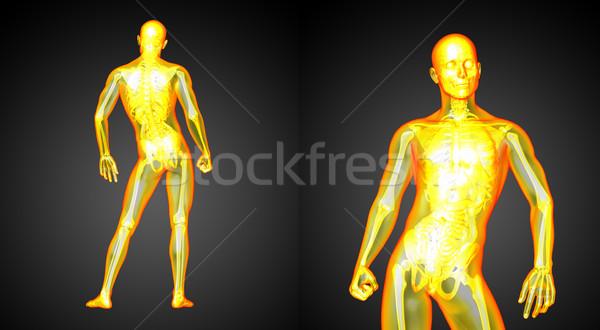 Stok fotoğraf: 3D · tıbbi · örnek · insan · anatomisi