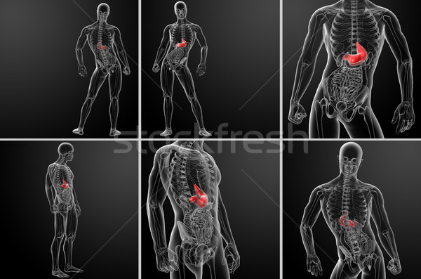 3d rendering human digestive system stomach Stock photo © maya2008