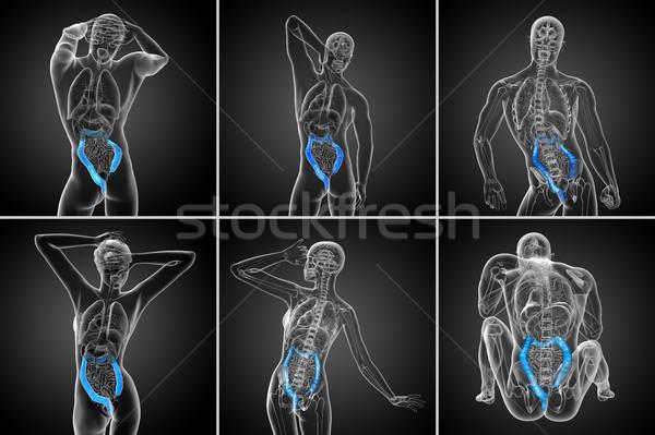 3d rendering human digestive system large intestine Stock photo © maya2008