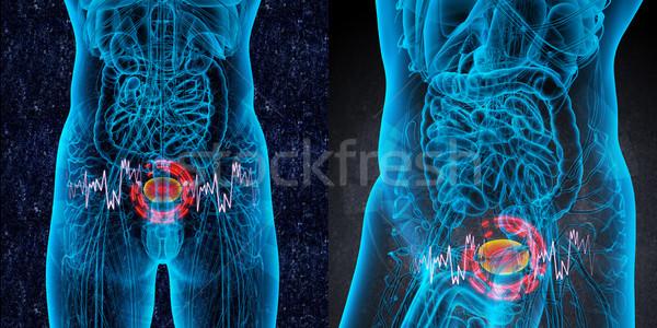 3D медицинской иллюстрация мочевой пузырь более Сток-фото © maya2008