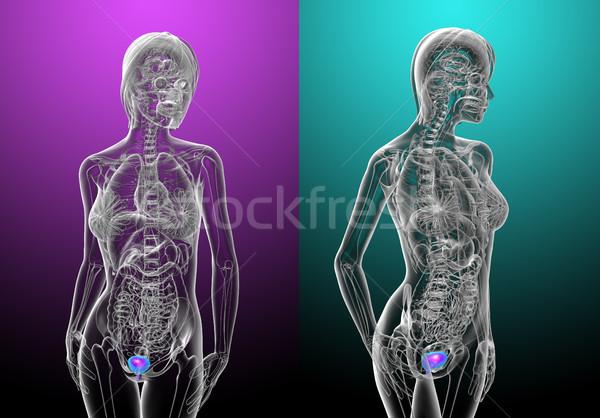 3D medische illustratie menselijke blaas Stockfoto © maya2008