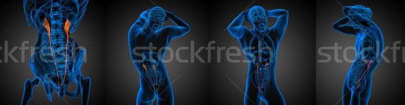 3d rendering medical illustration of the ureter  Stock photo © maya2008