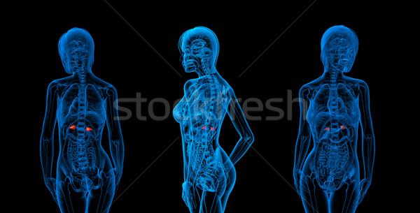 3d rendering medical illustration of the adrenal Stock photo © maya2008