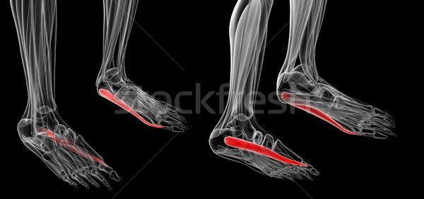 medical illustration of the Abductor Hallucis Stock photo © maya2008