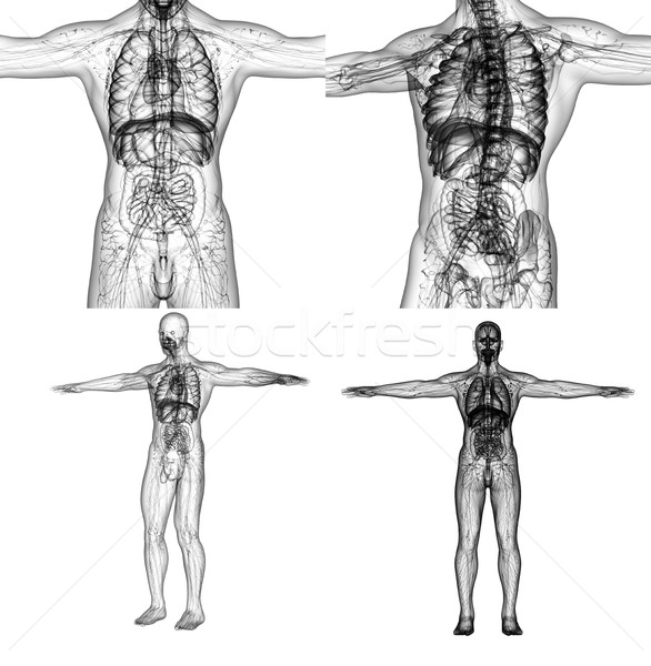 3D rendering medical illustration of the human anatomy  Stock photo © maya2008