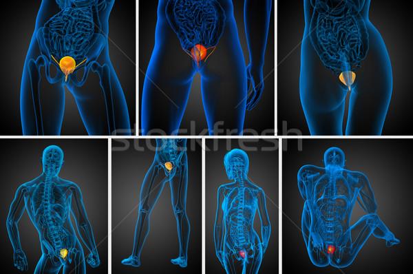 3d rendering medical illustration of the bladder  Stock photo © maya2008
