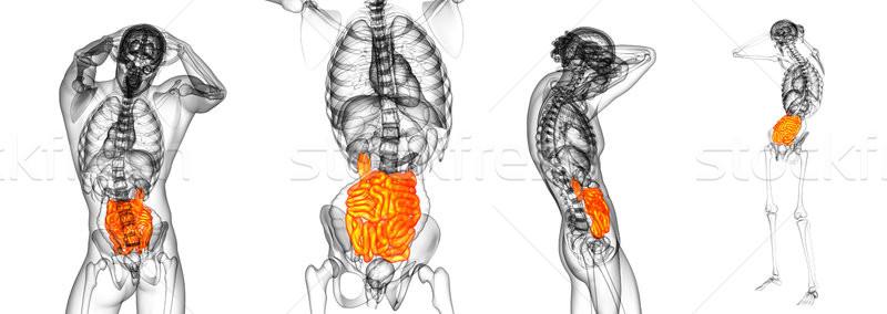3d rendering illustration of the small intestine Stock photo © maya2008