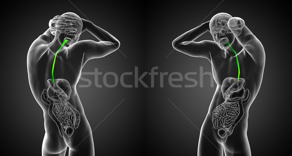 3d render medical illustration of the esophagus Stock photo © maya2008