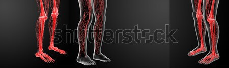 3D rendering lymphatic system visible leg Stock photo © maya2008
