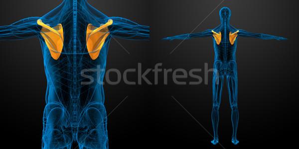 3d rendering medical illustration of the scapula bone  Stock photo © maya2008
