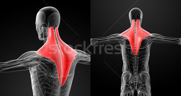 Medici illustrazione scienza muscolare indietro bianco Foto d'archivio © maya2008