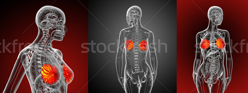 3d rendering medical illustration of the human breast  Stock photo © maya2008