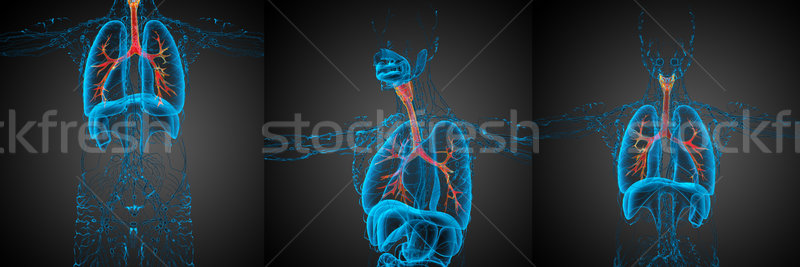 3D rendering medical illustration of the  bronchi  Stock photo © maya2008