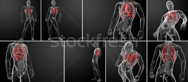 3d rendering illustration of the rib cage  Stock photo © maya2008