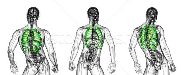 3d rendering medical illustration of the ribcage  Stock photo © maya2008