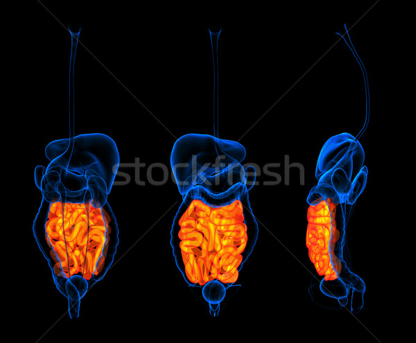 3d rendering human digestive system small intestine red colored Stock photo © maya2008