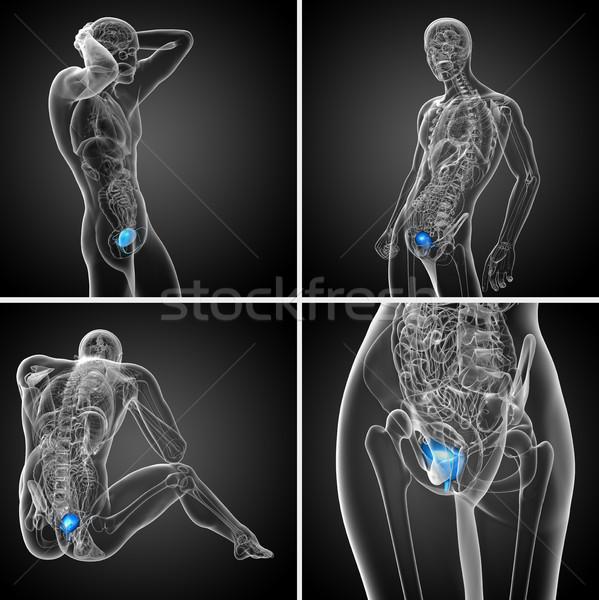 3D médico ilustração bexiga Foto stock © maya2008