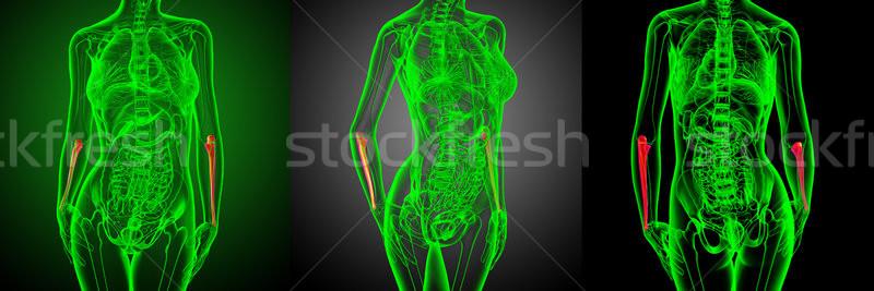 3d rendering medical illustration of the ulna bone  Stock photo © maya2008
