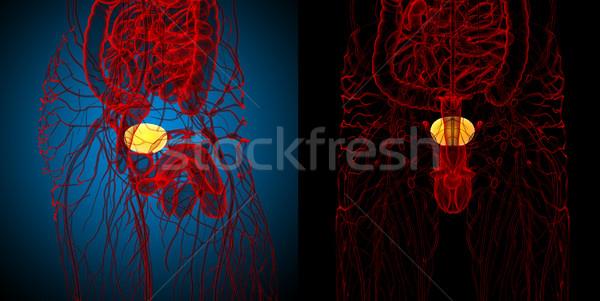 Stok fotoğraf: 3D · tıbbi · örnek · mesane