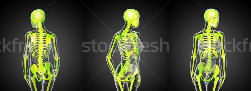 3D medische illustratie menselijke skelet Stockfoto © maya2008