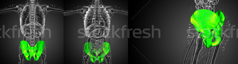 3D rendering illustration of the pelvis bone Stock photo © maya2008