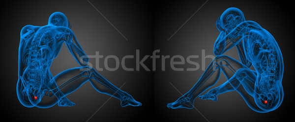 3d rendering illustration of the human prostate  Stock photo © maya2008