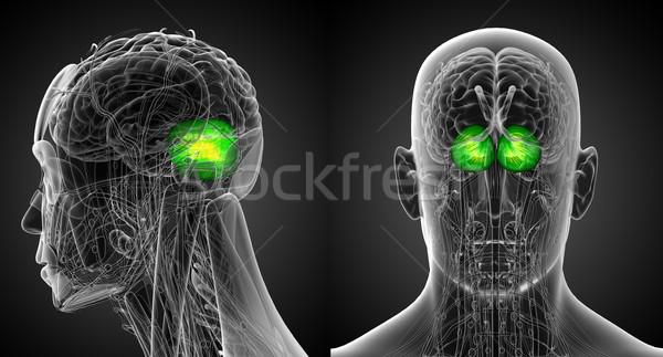 3d rendering medical illustration of the human brain cerebrum  Stock photo © maya2008
