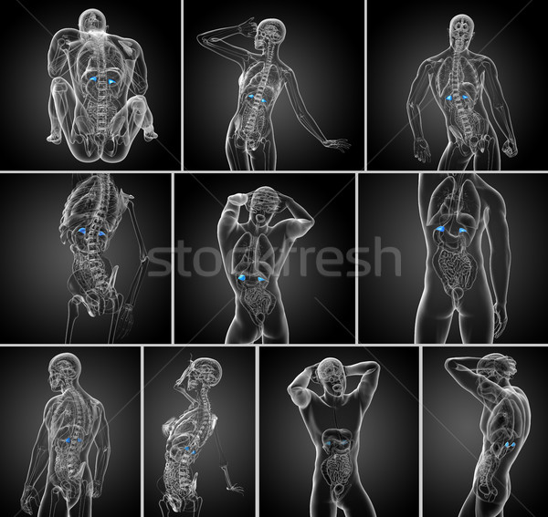 3d rendering medical illustration of the spleen  Stock photo © maya2008