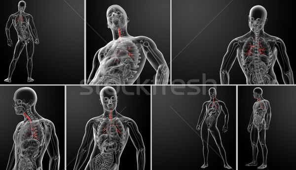 3d rendering lungs with visible bronchi  Stock photo © maya2008